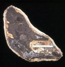 Crânio de pterossauro Geosternbergia maiseyi