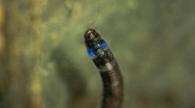 larva azzurra