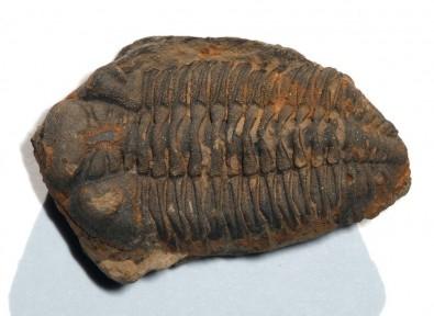 espécime fossilizado completo do trilobita devoniano Metacryphaeus caffer/ Dlloyd