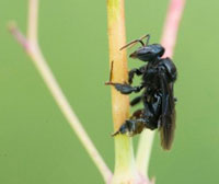 Trigona spinipes