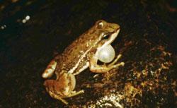 Hylodes lateristrigatus