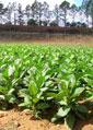 tabacco-piante